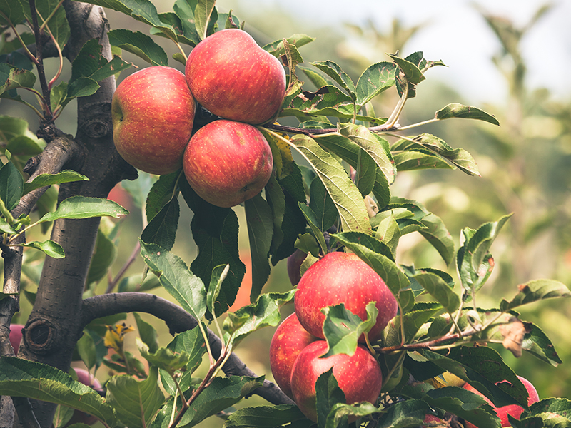 The Parable of the Apple Orchard